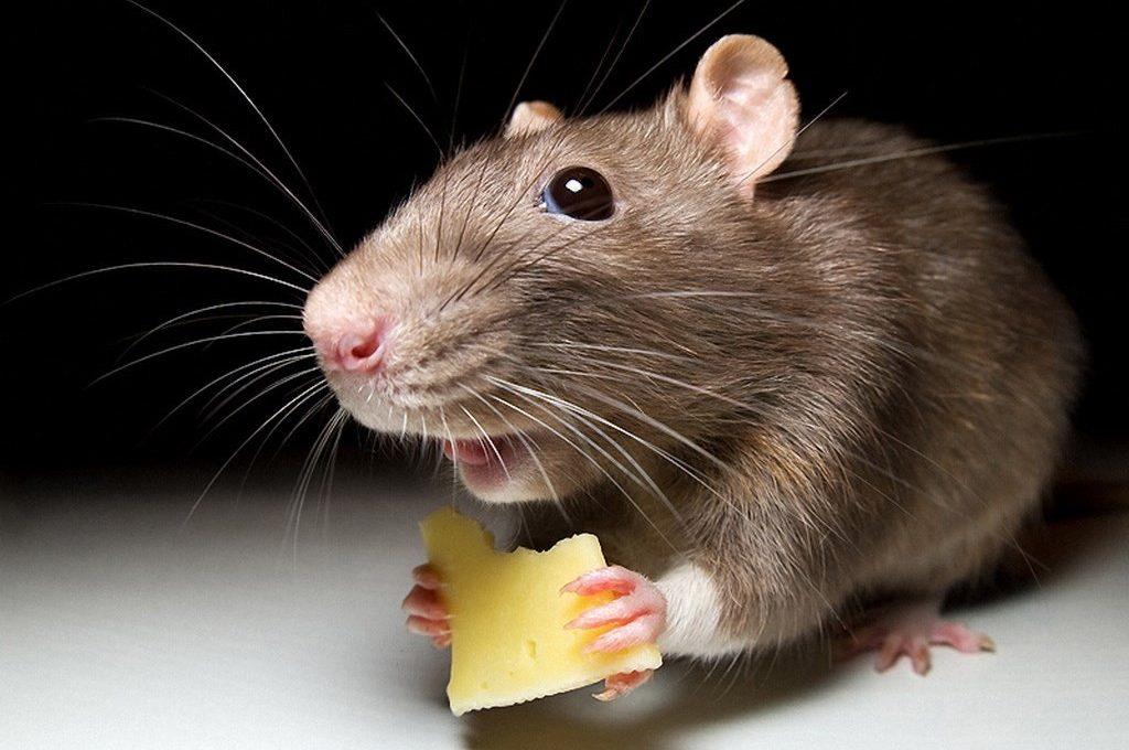 Мышь крадётся